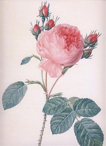 八重咲きの丸いバラ・大