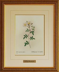 ルドゥーテ 丸い実のなるバラ