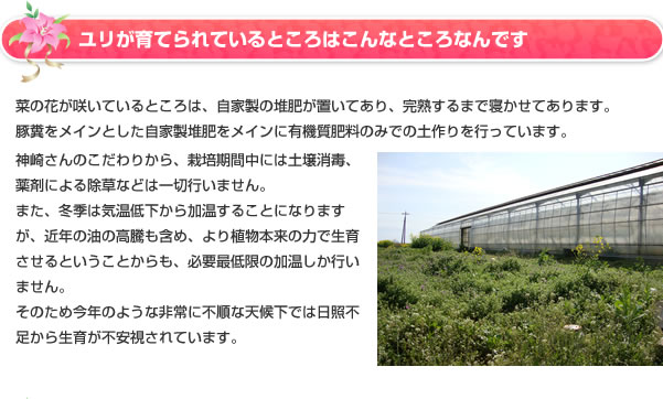 ユリが育てられているところはこんなところなんです。菜の花が咲いているところは、自家製の堆肥が置いてあり、完熟するまで寝かせてあります。豚糞をメインとした自家製堆肥をメインに有機質肥料のみでの土作りを行っています。神崎さんのこだわりから、栽培期間中には土壌消毒、薬剤による除草などは一切行いません。また、冬季は気温低下から加温することになりますが、近年の油の高騰も含め、より植物本来の力で生育させるということからも、必要最低限の加温しか行いません。そのため今年のような非常に不順な天候下では日照不足から生育が不安視されています。